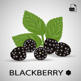 Set Of Five Blackberries  On A Background. Realistic Vector Illustration Royalty Free Stock Images