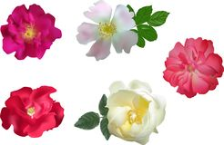 Set of five bright color brier flowers. Illustration with brier flowers isolated on white background Royalty Free Stock Images