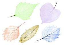 Set of five color leaf skeletons on white Stock Photos