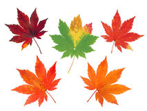 Set of five colorful autumn maple leaves Stock Images