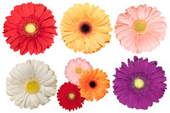 Set of five daisy flowers. Different color on white background, isolated royalty free stock photography