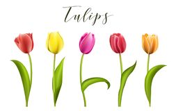 Set of five different color tulips isolated vector illustration