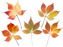 Set of five fall leaves isolated on white. Set of five red and yellow fall leaves isolated on white Royalty Free Stock Photos