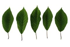 Set of five green leaves of sweet cherry isolated on white background royalty free stock image