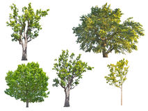 Set of five green oak trees isolated on white Royalty Free Stock Images