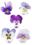 Set of five isolated pansy blooms Stock Photo