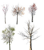 Set of five late autumn trees isolated on white Royalty Free Stock Photo