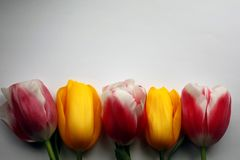 A set of five multicolored tulips on a white-gray background. Set of five different color tulips beautiful blossom bright garden nature pink plant red spring stock image
