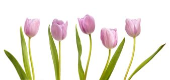 Set of five pink tulips Royalty Free Stock Photography