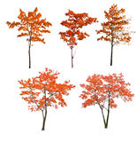 Set of five red autumn trees on white Stock Photos