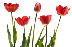 Set of five red color tulips isolated on white background Royalty Free Stock Images