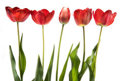 Set of five red color tulips isolated on white background Stock Images