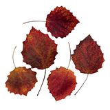 Set of five red maple leaves isolated. On white background Stock Photo