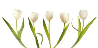 Set of five white tulips Stock Images