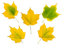 Set of five yellow autumn maple leaves Stock Photography