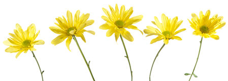 Set of Five Yellow Daisy Flowers Stock Image