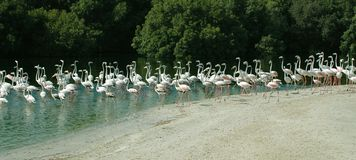 Set of Flamingo. Panorama picture for a set of flamingo Stock Photos