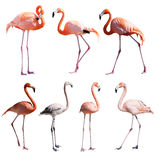 Set of Flamingoes. Isolated over white Stock Photography