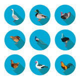 Set of flat icons poultry Royalty Free Stock Image