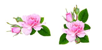 Set of floral arrangements with pink rose flowers, buds and leav royalty free stock photos