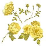 Set of floral design elements. Vector flower collection. Beautiful yellow roses on white background Stock Images