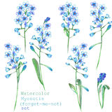 A set with the floral elements in the form of watercolor blue forget-me-not flowers (Myosotis) for a decoration Royalty Free Stock Photo