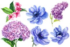 Set of flowers, anemones, hydrangea, vegaila, lilac, watercolor botanical illustration