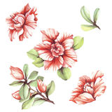 Set with flowers azaleas. Hand draw watercolor illustration Royalty Free Stock Images