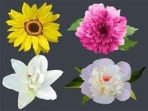 Set Flowers on black background. Sunflower, dahlia, white lily and peony Royalty Free Stock Image