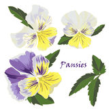 Set of flowers pansies with leafs in realistic hand-drawn style. Vector illustration royalty free illustration