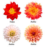 Set of flowers: parrot tulip, dahlias. A set of four flowers: parrot tulip, red-yellow dahlia, white dahlia, orange dahlia. Flowers on a white background with Stock Images