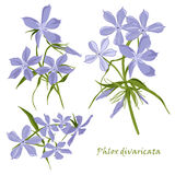 Set of flowers phlox divaricata with leafs in realistic hand-drawn style. Royalty Free Stock Images