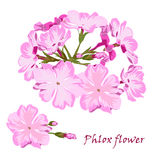Set of flowers pink phlox in realistic hand-drawn style. Stock Image