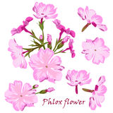 Set of flowers pink phlox in realistic hand-drawn style. Royalty Free Stock Photo