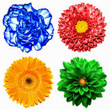 Set of 4 in 1 flowers: red chrysanthemum, orange gerbera, blue clove and red chrysanthemum flower isolated royalty free stock image