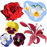 Set of flowers, red rose, narcissus, three pansies, and pink lily Stock Photo
