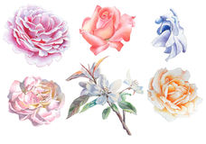 Set with flowers. Rose. Blossom. Watercolor illustration. Royalty Free Stock Image