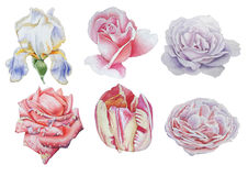 Set with flowers. Rose. Iris. Tulip. Watercolor illustration. Stock Images