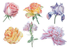 Set with flowers. Rose. Peony. Iris. Watercolor illustration. Stock Images