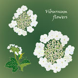 Set of flowers viburnum with leafs in realistic hand-drawn style Royalty Free Stock Photo