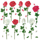 Set of flowers white and red roses over white Royalty Free Stock Photography