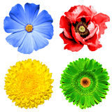Set of 4 in 1 flowers: yellow chrysanthemum, green gerbera, blue primula and red poppy flower isolated Royalty Free Stock Photography