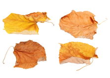 Set flying dry autumn yellow linden leaves isolated white Royalty Free Stock Photography