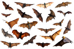 Set of flying fox fruit bats Royalty Free Stock Photos