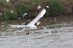 Set of flying seagulls, The white gulls fly over sea at Bangpu. The white gulls fly over sea Stock Images