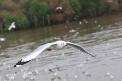 Set of flying seagulls, The white gulls fly over sea at Bangpu Royalty Free Stock Images