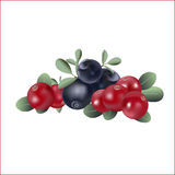 Set of forest bilberry and marsh cranberry. Stock Images