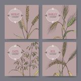 Set of four banenrs with bread wheat, rye, barley and oats color sketch. Cereal plants collection. Great for bakery, agriculture, farming design Stock Photography
