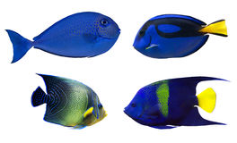 Set of four blue fishes isolated on white Stock Image