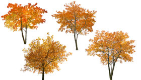 Set of four bright autumn trees isoalted on white Royalty Free Stock Photo